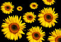 Free Sunflowers Stock Images - 3087634