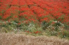Free Colourful Field Of Poppies Royalty Free Stock Photography - 3080987