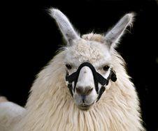 Free Llama Royalty Free Stock Image - 3081056