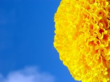 Free Yellow Saffron On The Blue Sky Stock Photography - 3082632