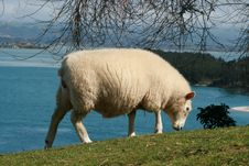 Free Lamb Grazing By The Sea Royalty Free Stock Image - 3082766