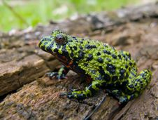 Free Fire-bellied Toad Stock Image - 3083961