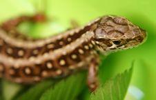 Free Wild Lizard Royalty Free Stock Image - 3084436