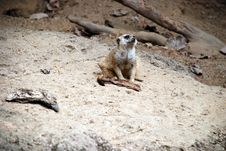 Free Meerkat Sitting Royalty Free Stock Image - 3085356