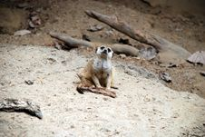 Free Meerkat Royalty Free Stock Photography - 3085367