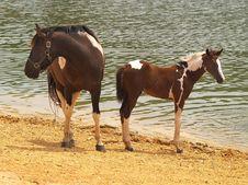 Free Horses At Lakeside Royalty Free Stock Image - 3085656