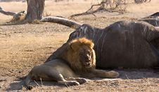 Lion At Elephant Carcass Stock Photography