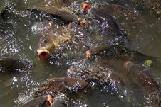 Free Hungry Fish In Water Royalty Free Stock Photos - 3087268