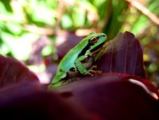 Free Macro Of A Green Tree Frog Stock Images - 3087374