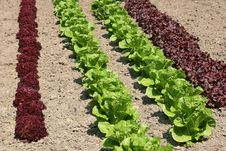 Lettuce Varieties Royalty Free Stock Photos