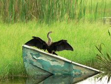 Bird - Anhinga Or Snake Bird Royalty Free Stock Photo