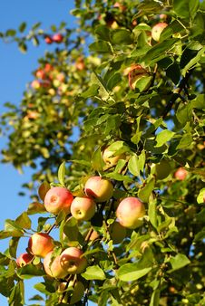 Free Red Apples On Blue Sky Stock Photos - 3087573