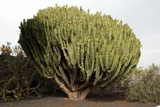 Free Big Cactus Tree Stock Photo - 3088010