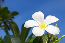 Free Frangipani Flower Royalty Free Stock Photo - 30800955