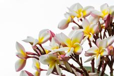 Free Frangipani Flower Royalty Free Stock Photo - 30801055