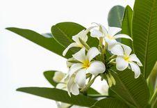 Lan Thom Flower Stock Photography