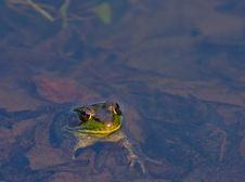 Free Green Frog Royalty Free Stock Images - 30802569