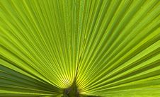 Free Palm Leaves Royalty Free Stock Photo - 30804125