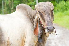 Free Thai Bull Stock Image - 30809281