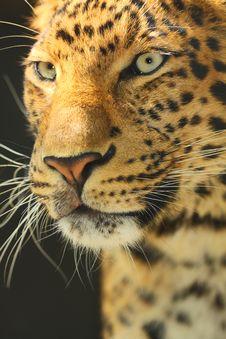 Free Jaguar Royalty Free Stock Photo - 30812495