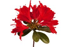 Free Red Flower Azalea Stock Images - 30818074