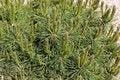 Free Fresh Green Pine Stock Photo - 30824360