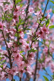 Free Blooming Peach, Selective Focus Royalty Free Stock Photos - 30820798