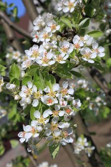 Free Pear Blossom Close-up, Selective Focus Royalty Free Stock Images - 30820919