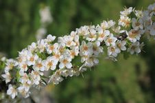 Free Plum Blossom Branch Royalty Free Stock Photography - 30820987
