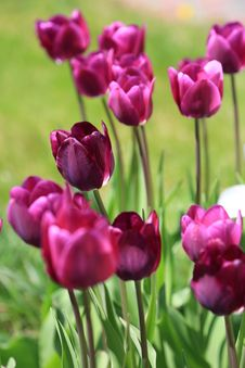 Free Maroon Tulips , Selective Focus Stock Photos - 30821123