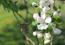 Free Blossoming Of Appletree. Several Flowers Of Blooming Apple Royalty Free Stock Image - 30822706