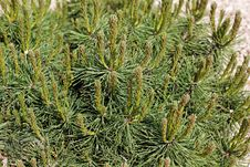Free Fresh Green Pine Stock Photo - 30824360