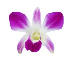 Free Deep Purple Orchid Royalty Free Stock Image - 30828136