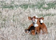 Free Smiling Calf Royalty Free Stock Image - 30828646