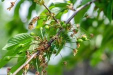 Free Green Sour Cherries Stock Photography - 30829792