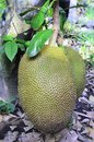Free Jack Fruit Royalty Free Stock Images - 30831269