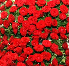 Free Red Rose Bed Stock Images - 30830464