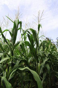 Free Corn Stock Images - 30831144