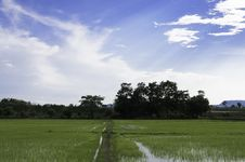 Free Rice Field Royalty Free Stock Images - 30831199