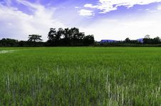 Free Rice Field Stock Photo - 30831200