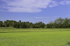 Free Rice Field Royalty Free Stock Photography - 30831227