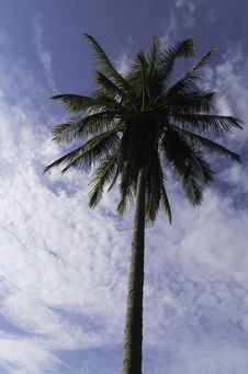 Free Coconut Tree Royalty Free Stock Photo - 30831255