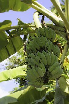 Free Banana Stock Image - 30831271