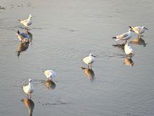 Free Seagulls Walking Stock Image - 30837811