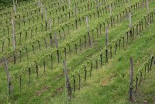 Free Vineyard In The Green Hill Meadow In Summer Royalty Free Stock Image - 30838176