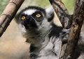 Free Lemur Royalty Free Stock Photography - 30843147
