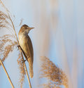 Free Eurasian Reed Warbler, Acrocephalus Scirpaceus, In Reed Natural Environment Stock Photos - 30847243