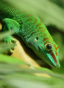 Free Gecko Stock Image - 30841831