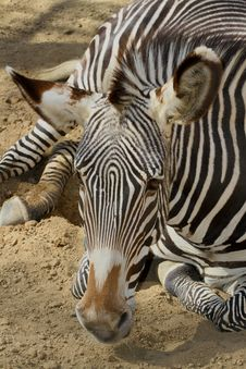 Free Zebra Stock Photo - 30842610