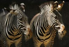 Free Zebra Stock Photos - 30842723
